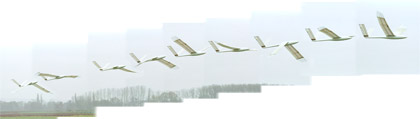 Sequence of a flapping flight